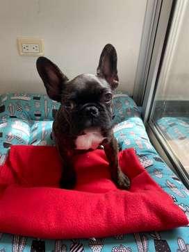 Vendo Lindísimo bulldog francés macho