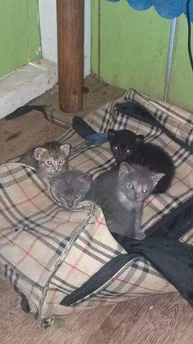 Se da en adopción lindos Gatitos..