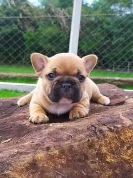 Hermosos bulldogs Frances disponibles