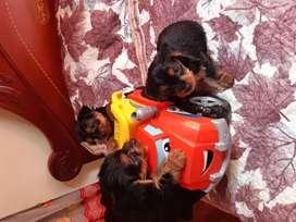 Hermosos cachorros Yorkshire Terrier