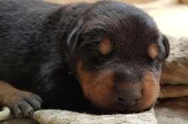 Vendo Cachorros Doberman Puros