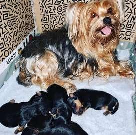 Yorkshire terrier puros