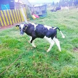 Vendo vaca con cria vacas de 3 partos con cria torito