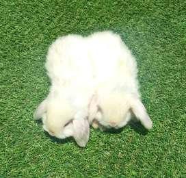 Conejos Belier