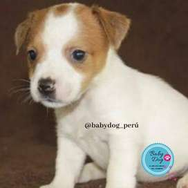 CHACHORROS JACK RUSSEL