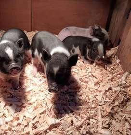 Venta de hermosos Mini pigs