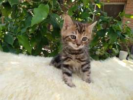 Gatitos Bengal Spotted y Marble 3 mesed