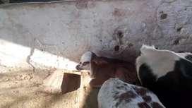 Se vende vaca tamañuda muy buena de leche con cría macho
