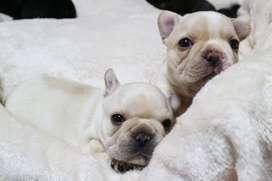 divinos perritos bulldog frances 59 dias de vida amor y ternura