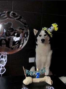 Husky siberiano busca novia para ser por primera vez papa!