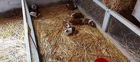 Cuy reproductores en huancayo
