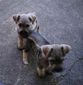 Cachorros schnauzer disponibles