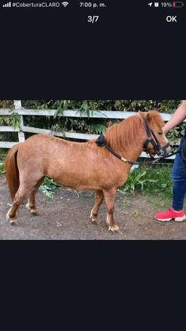 Espectacular pony reproductor y de silla!