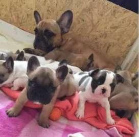 Bulldog frances 48 dias venta