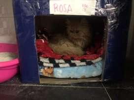 Busco gato persa para monta