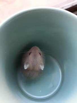 Hamster ruso macho