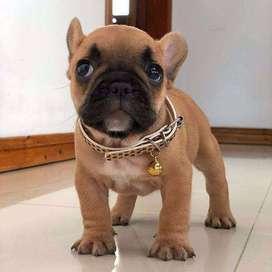 Bulldog frances red (6 semanas y media)
