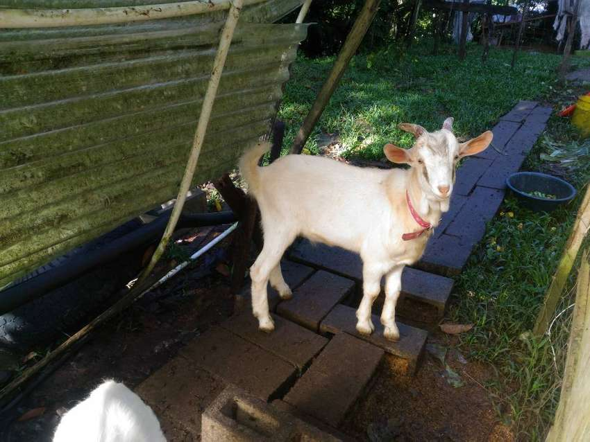 Goats to go (7 goats for sale) 0