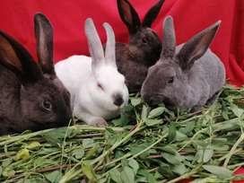 Conejos Rex Machos