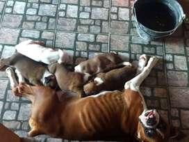 Cachorros boxer
