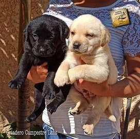 pura calidad LABRADORES DE MUY BUENA GENETICA Son los más hermosos y bellos cachorros de la raza 100% puros, con su esqu