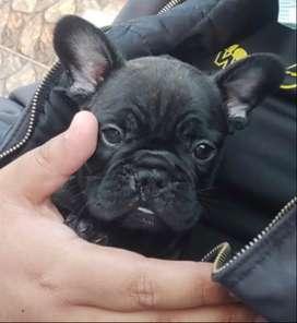 Vendo cachorro bulldog Francés de 3 meses