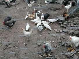 Se vende patos