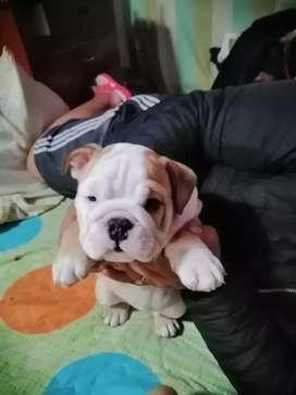 Venta de cachorra bulldog ingles con dos meses de nacida tiene las dos primeras vacunas