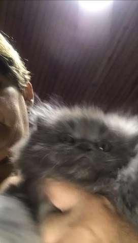 Gato persa super chato