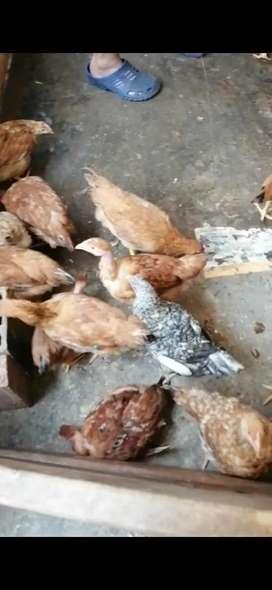 Pollas de 3 meses imedio
