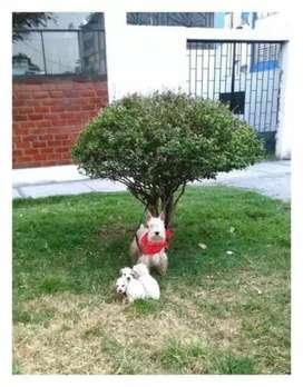 Hermosos cachorros schnauzer miniaturas padres de pedigree