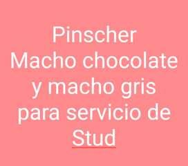 Pinscher Machos servicio