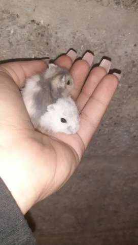 Topos ,hamsters