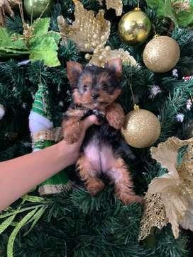 Vendo cachorra yorkshire terrier tea cup de 2 meses de nacida