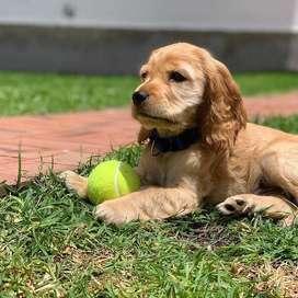 cocker spaniel sanos y amorosos cachorritos 56 dias