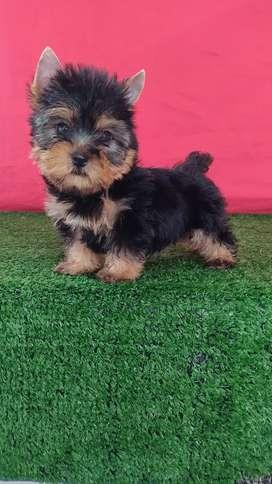 Agradables Yorkshire terrier mini