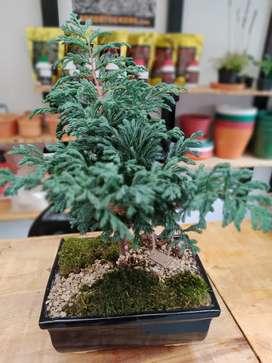 Bonsai pino azul