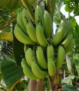 Venta de Plátano arton