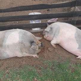 Vendo pareja de cerdos Vietnamita reproductores