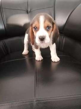 Beagle tricolor pura raza