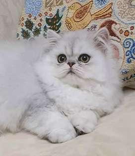 Hermoso gatito persa chinchilla macho