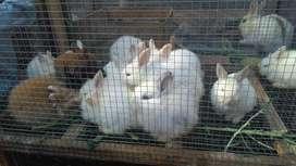 Conejos para mascota