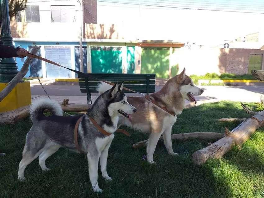 Servicio de monta Husky siberiano 0