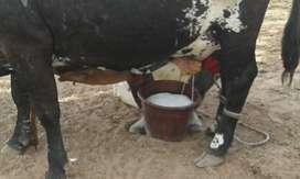 vendo vacas y novillas tipo leche