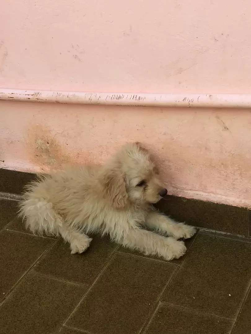 Caniche último 4 meses 0