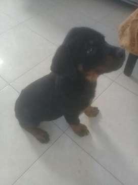 Vendo Cachorro Rottweiler