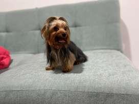Monta de perrito yorkshire mini