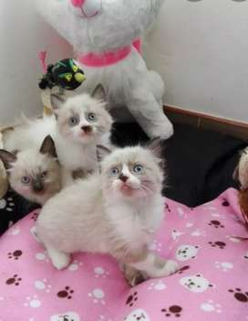 ESPECIALES GATITOS RAGDOLL