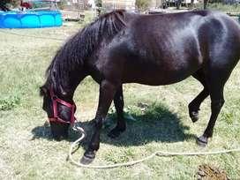 caballos de andar