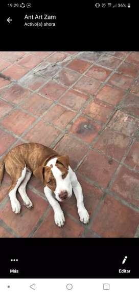 Cachorro pitbull de 3 meses y medio bien jugueton